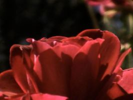 Red, red rose by SnappyIrides