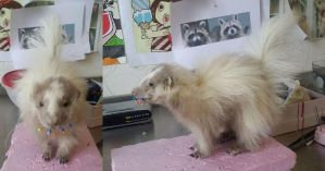 Creme Baby Skunk Lifesize Mount by DeerfishTaxidermy