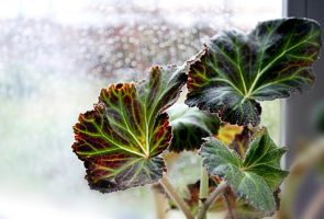 Leaves of Begonia about wet window by Luba-Lubov-13