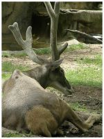 White Lipped Deer by eosthilas