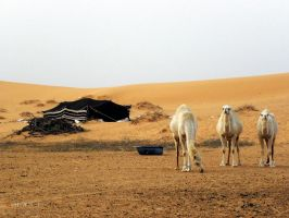 camel's by Al-Shamary