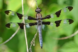 Male Twelve-spotted Skimmer by wreckingball34