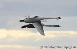 my favorite swan photo 1 by MT-Photografien