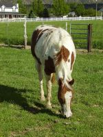 Grazing Tobiano .:Stock:. by WesternStock