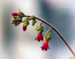 Tender red. by Phototubby