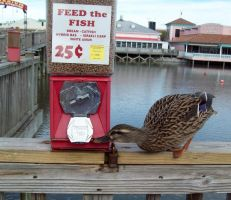 Duck Steals Food by bgbeachgurl