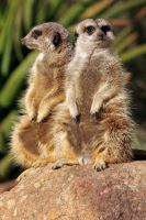 Double Meercats by candarama