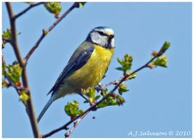 Spring Blue Tit by andy-j-s
