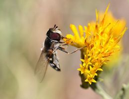 Hoverfly on Rabbitbrush by sellsworth