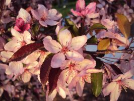 Flowering Crabapple Tree by highlyimprobable