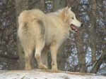 North American Arctic Wolf 58 by animalphotos