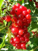 Red currant by Eriseite