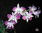 """The Wedding Orchid"" SM 2010 by StPeteArtisan"