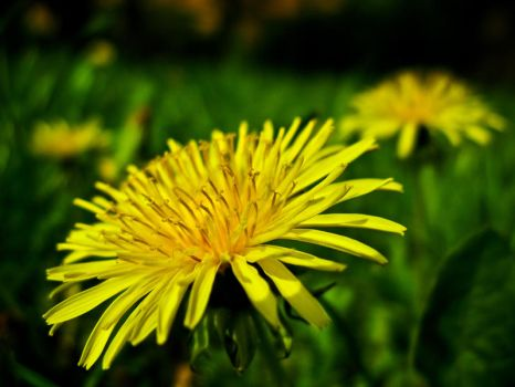Dandelion in Bloom by toco