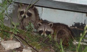Pair of half-grown Raccoons at the Cottage by Kajm