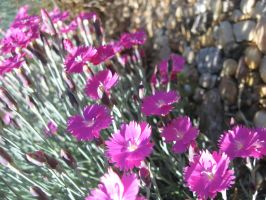 Dianthus by Reyphotos