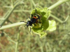 Namib Blister Beetle by Serendith