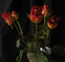 Rose on black_6 by Hermit-stock