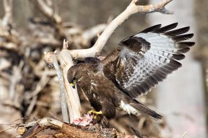 Common Buzzard by RamzisII