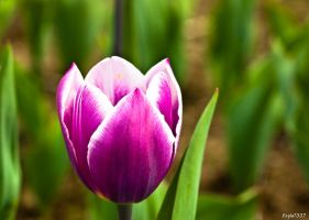 Tulip2 by EaGle1337
