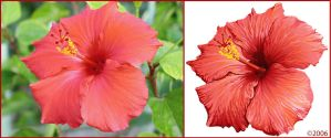 Vectorization of the Hibiscus by KillerGraphix79