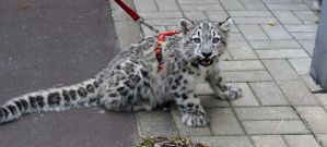 Snow Leopard Kitten First Walk by Vertor