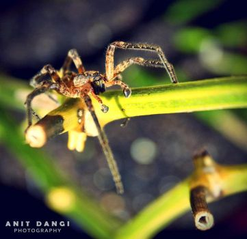 Spider by anitd7