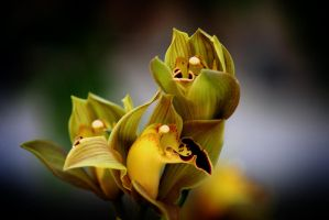 Cymbidiums by Vividlight