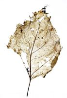 Leaf Skeleton by hold-steady