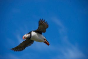 Iceland - Puffin by Styyxx