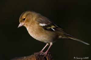 Chaffinch by Slinky-2012