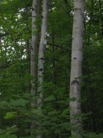 3 white birches by crazygardener
