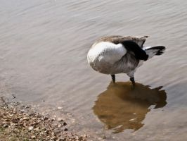 canadian geese IX by Baq-Stock