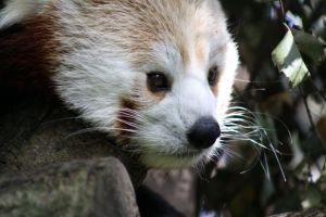Red Panda 10 H by Cilmeron