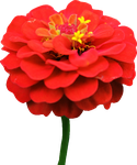 Red Zinnia PNG by Thy-Darkest-Hour