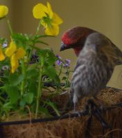 Red Headed Finches by PamplemousseCeil