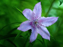 Clematis 3 by Swan-Lake