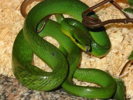 Redtail Green Ratsnake boy by poisonous