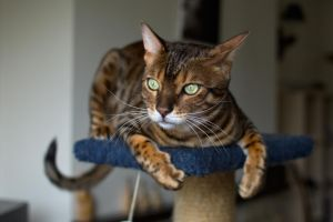 Bengal Cat Stock 20140324-1 by FurLined