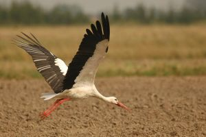 White stork 2 by A2812
