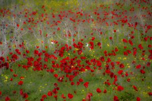 field of anemones by picture-melanie