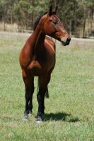 84 warmblood front on by Chunga-Stock