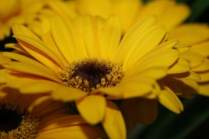 Yellow Gerbera I by newdawnimages