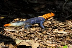 Agama in the sun by LordMajestros