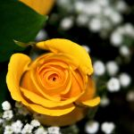 Yellow Valentine Roses II by LDFranklin