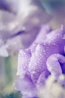 lavender lovers by verniceR