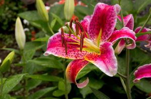 Oriental Lily by FordGT