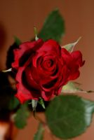 Red Rose 4 by gaothaire