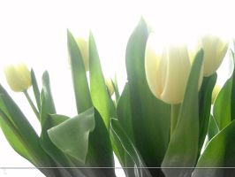 WP White Tulips by sweetlilfly