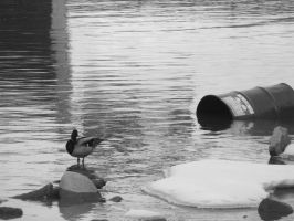 Duck and a Barrel by Keiko9